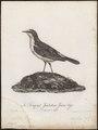 Saxicola pileata - 1796-1808 - Print - Iconographia Zoologica - Special Collections University of Amsterdam - UBA01 IZ16200310.tif