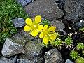 Saxifraga × eudoxiana 'Gold Dust' 3.jpg