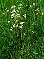 Saxifraga granulata 001.JPG