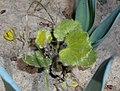 Saxifraga rotundifolia 2016-04-22 8497.jpg