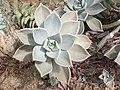 Saxifragales - Echeveria sp. - 11.jpg