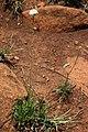 Scabiosa columbaria 2.jpg