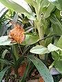 Scadoxus puniceus KirstenboschBotGard09292010D.JPG