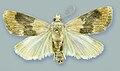 Schacontia lachesis male - ZooKeys-291-027-g001-10.jpeg