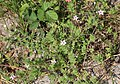 Schiermonnikoog - Duinreigersbek (Erodium cicutarium subsp. dunense) v2.jpg