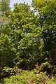Schleswig-Holstein, Kellinghusen, Landschaftsschutzgebiet Waldfläche bei Kellinghusen NIK 1287.JPG
