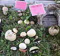 Scleroderma citrinum - Pilzausstellung Rostock 2015.jpg
