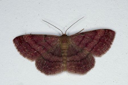 Scopula rubiginata, Lodz(Poland)02(js).jpg