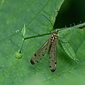 Scorpion fly (35300053634).jpg