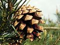 Scots Pine (Pinus sylvestris).jpg