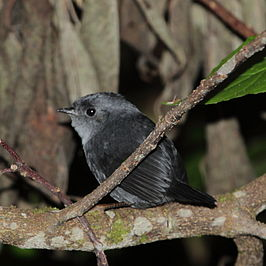 Scytalopus speluncae - Mouse-coloured Tapaculo.JPG