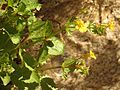 Seep Monkeyflower - Flickr - treegrow (3).jpg