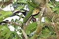 Selenidera spectabilis -Panama -male-8.jpg