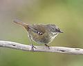 Sericornis humilis - Melaleuca.jpg