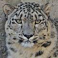 Serious snowleopard.jpg
