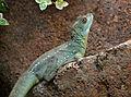 Serpentarium Blankenberge Basiliscus plumifrons 30042015 2.jpg