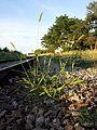 Setaria viridis var. viridis sl6.jpg