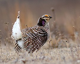 Sharp-Tailed Grouse (26089894256) (cropped).jpg