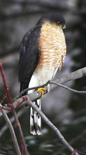 Gildersleeve Mountain - A sharp-shinned hawk on Gildersleeve mountain