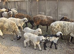 Sheep in Tajikistan.jpg