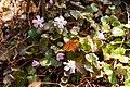 Shortia uniflora 03.jpg