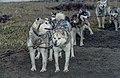 Siberian Husky 01(js), Nome (Alaska).jpg