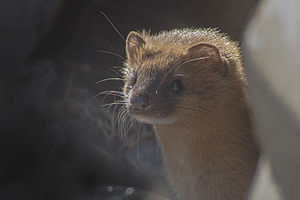 Siberian weasel - From Pangolakha Wildlife Sanctuary, India during the month of February.