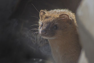 Siberian weasel - From Pangolakha Wildlife Sanctuary, India during the month of February