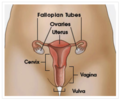 Simple wikipedia vulva image from CDC.png