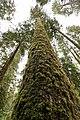 Sitka Spruce (213657243).jpeg