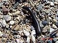 Slate Millipede - Comanchelus chihuanus.jpg