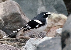 Slaty-backed forktail, Dibang Valley, Arunachal Pradesh, India.jpg