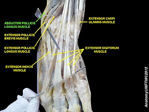 Abductor pollicis longus muscle