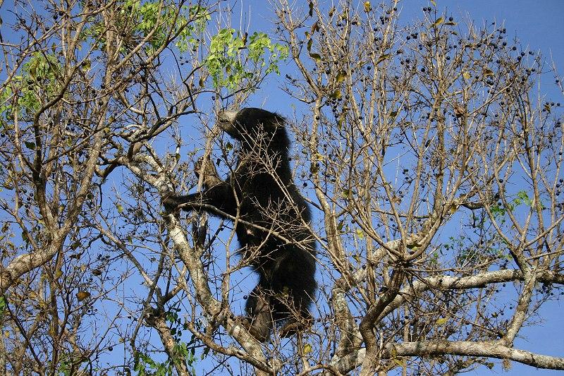 SlothBearTree