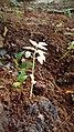 Small germinated neem plant by sankar.jpg