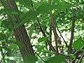 Smuk, Zamenis longissimus, Sićevačka klisura (1).jpg