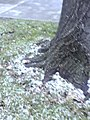 Snowy lime-tree.jpg