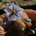 Solanum etuberosa (3440007443).jpg