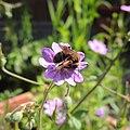 Solitary bee, Sandy, Bedfordshire (14287206570).jpg