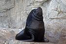 Southern sea lion, L'Oceanogràfic (1).jpg