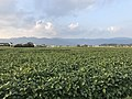 Soybean fields near east entrance of Yoshinogari Historical Park.jpg