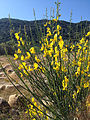 Spanish Broom.jpg