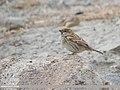 Spanish Sparrow (Passer hispaniolensis) (45885496904).jpg