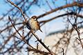 Sparrow in Volgograd Oblast 001.jpg
