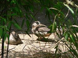 Au rythme des oiseaux dans OISEAUX 250px-Spatelschnabelente_050611