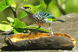 Speckled Tanager.jpg