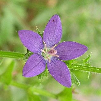 Triodanis perfoliata - Image: Specularia perfoliata 3
