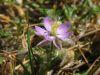 Spergularia rubra bluete.jpeg