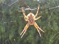 Spider middle of web.jpg