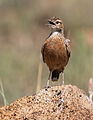 Spike-heeled lark, Chersomanes albofasciata, at Suikerbosrand Nature Reserve, Gauteng, South Africa (22456448080).jpg